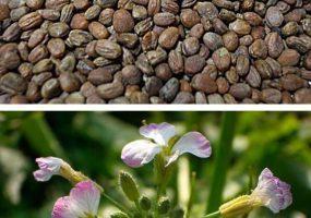 Реализуем семена редьки масличной (сорт Ника)